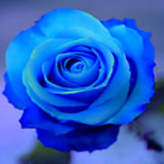 Blue_Rose_Wallpapers_1_1_.jpg